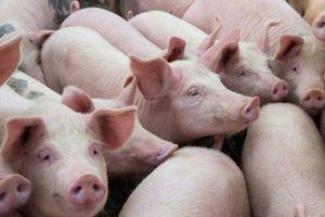 Giá lợn hơi hôm nay 31/12: Tăng ở một vài tỉnh, thành phố trên cả nước