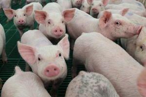 Giá lợn hơi hôm nay 31/12/2020: Tiếp tục tăng 1.000-2.000 đồng/kg, sẽ còn tăng mạnh đến Tết