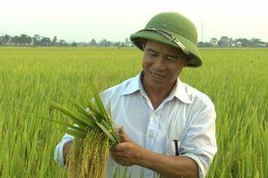 Phát triển 8 giống lúa có giá trị thương mại gạo trên 600 USD/tấn