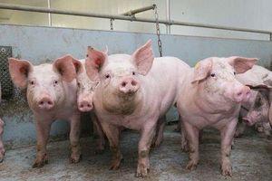Bộ Nông nghiệp nhận định tình hình dịch tả lợn châu Phi năm 2021
