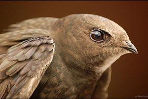 Kinh ngạc loài chim có thể bay suốt cả năm trời không hạ cánh