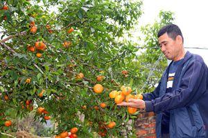 Lưu giữ giống cam quý và những 'mùa vàng' ở Vạn Yên