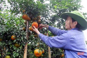 'Thủ phủ' cam bù nức tiếng ở Hà Tĩnh vào mùa thu hoạch