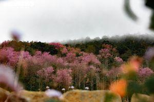 Ngắm mai anh đào nhuộm hồng thung lũng Lang Biang