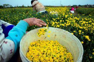 Vàng óng cánh đồng hoa cúc ' tiến vua'