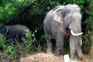 Người đàn ông nghi bị voi rừng quật