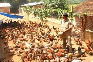 Cuối năm giá gà vẫn 'dậm chân tại chỗ', người chăn nuôi thấp thỏm
