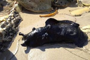 Kỳ lạ loài sên biển khủng nhất thế giới, vẻ ngoài giống như 'không thuộc về Trái đất'