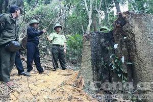 Lâm tặc liều lĩnh khai thác gỗ cổ thụ quy mô lớn
