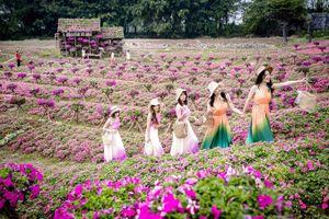 Ngắm cánh đồng hoa Dạ yến thảo đẹp như cổ tích ở Hà Nội