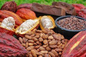 Giá cà phê, cacao giảm trong khi đường tăng giá