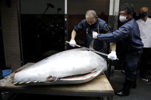Ẩm thực cao cấp suy thoái, giá 'siêu cá ngừ' Nhật sụt thảm chỉ còn 5 tỷ đồng