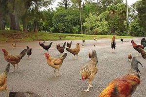 Hòn đảo kỳ lạ, đi đâu cũng thấy gà, từ bãi biển tới sân bay