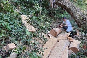 Hàng chục cây gỗ bị lâm tặc cưa hạ không thương tiếc