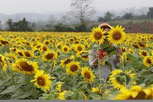Rực vàng sắc hoa 'mặt trời' tại Nghệ An