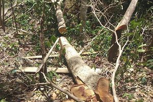 Hủy hoại rừng, Chủ tịch công ty lâm sản ở Gia Lai bị bắt