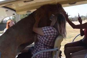 Sư tử bất ngờ nhảy vào xe của đoàn khách du lịch và cái kết khiến chúng ta phải suy nghĩ