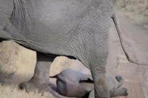 Voi mẹ xử lý đi vào lòng người khi voi con ăn vạ
