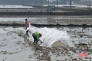 Nông dân Hà Tĩnh chủ động chống rét cho mạ và lúa xuân
