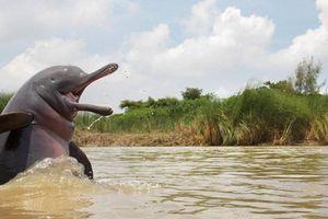 Ấn Độ bắt ba người vì hành hạ đến chết một con cá heo sông Hằng quý hiếm