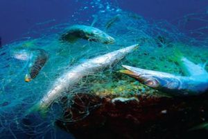 'Lưới ma', sát thủ của hệ sinh thái biển