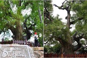 Chiêm ngưỡng cây dã hương nghìn năm tuổi, 'thần mộc' độc nhất vô nhị ở Bắc Giang