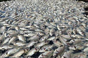 Hơn 1,6 tấn cá sặc bổi bị chết do sét đánh