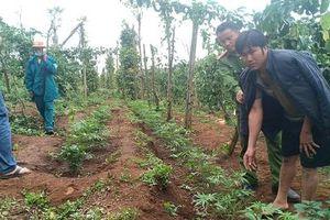 Khởi tố 2 đối tượng trồng hơn 1000 cây cần sa ở Đắk Nông