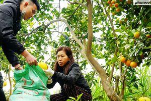 Vườn bưởi Diễn 30 tuổi chi chít quả đón Xuân Tân Sửu