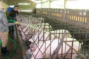 Giá lợn tăng nhưng không sốt