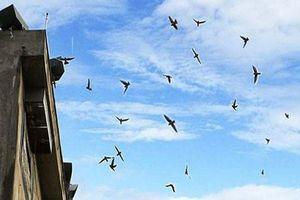 Nuôi chim yến trong khu dân cư không được mở loa phát âm thanh