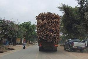 Xe quá khổ, quá tải vẫn chạy bất chấp sự chỉ đạo phải xử lý nghiêm của UBND tỉnh Thanh Hóa