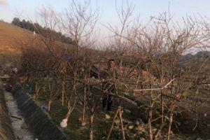 Sơn La: Đề xuất dán tem đào vườn do dân trồng để phân biệt đào rừng