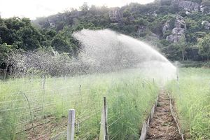Phát triển cây măng tây xanh ở vùng đất núi