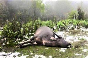 Hơn 200 con trâu, bò chết cóng sau 5 ngày miền Bắc rét kỷ lục