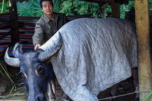 1.600 gia súc chết do băng giá, rét hại