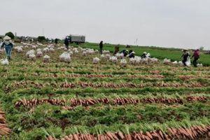 Thời tiết thuận lợi, giá cà rốt đầu vụ tăng cao