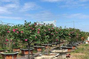 Sớm xây dựng thương hiệu cho hoa hồng Mê Linh