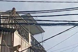 TP.HCM: Cận cảnh đàn khỉ đuôi dài vào tận nhà dân quấy phá