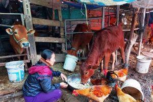 Hà Tĩnh: Tìm rơm cho trâu bò chống rét khó hơn… mua vàng