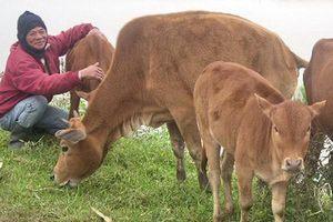 Trâu, bò chết nhiều chưa từng thấy tại TT-Huế do thói quen thả rông