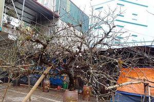 Đào rừng của người dân tự trồng, vẫn được bán chơi Tết