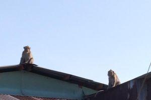Đưa ra phương án đối với đàn khỉ hoang phá phách nhà dân ở TP HCM