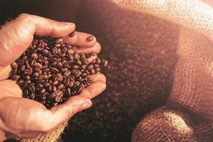 Giá cà phê hôm nay 13/1/2021: Thế giới giảm nhẹ, trong nước tiếp tục giảm 300 đồng/kg