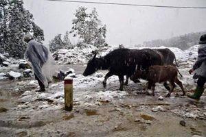 Hơn 1.000 gia súc chết cóng ở khắp Bắc Bộ và Bắc Trung Bộ trong 6 ngày rét đậm