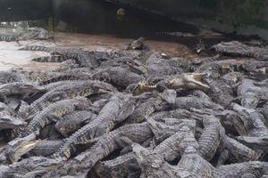Điêu đứng vì cá sấu rớt giá