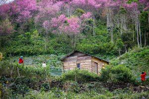Mai anh đào khoe sắc ở núi rừng Đà Lạt