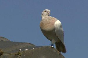 Australia quyết tiêu hủy chim bồ câu bay xuyên Thái Bình Dương