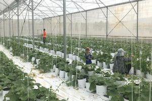 Rau, hoa công nghệ cao khuất phục vùng nắng nóng