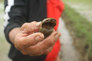 499 ha lúa đông xuân ở Quảng Ngãi bị ốc bươu vàng phá hoại